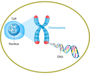 Relationship of Cell, Chromosome and DNA